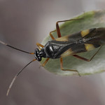 négyfoltos mezeipoloska - Globiceps fulvicollis