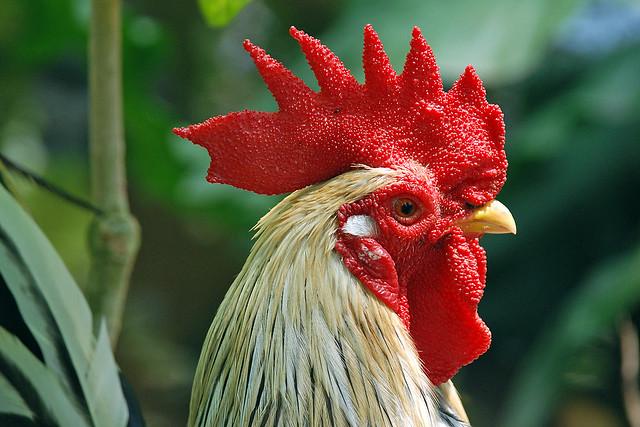 Chicken Is Friend Not Food
