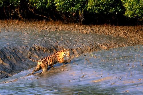 Sundarban 2 Mammal TIGER6