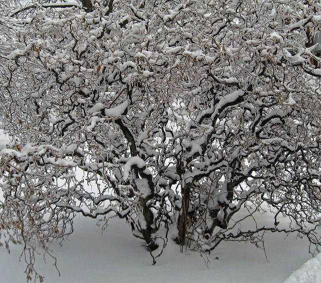 Snowy Icy Branches
