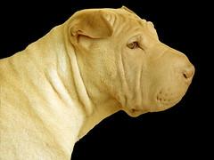 dog breed, animal, dog, mammal, shar pei,