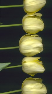 04944 Tulipa - yellow 371