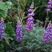 Silver Bush Lupine - Photo (c) Claire Woods, some rights reserved (CC BY-NC-ND)
