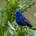 Blue Grosbeak among the thistle and the thorns...