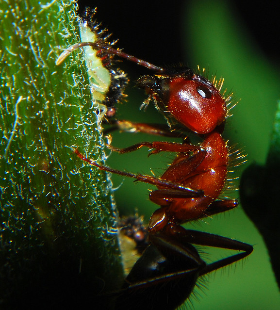 Red Fire Ant Macro |