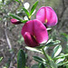 chaparral pea - Photo (c) randomtruth, some rights reserved (CC BY-NC-SA)