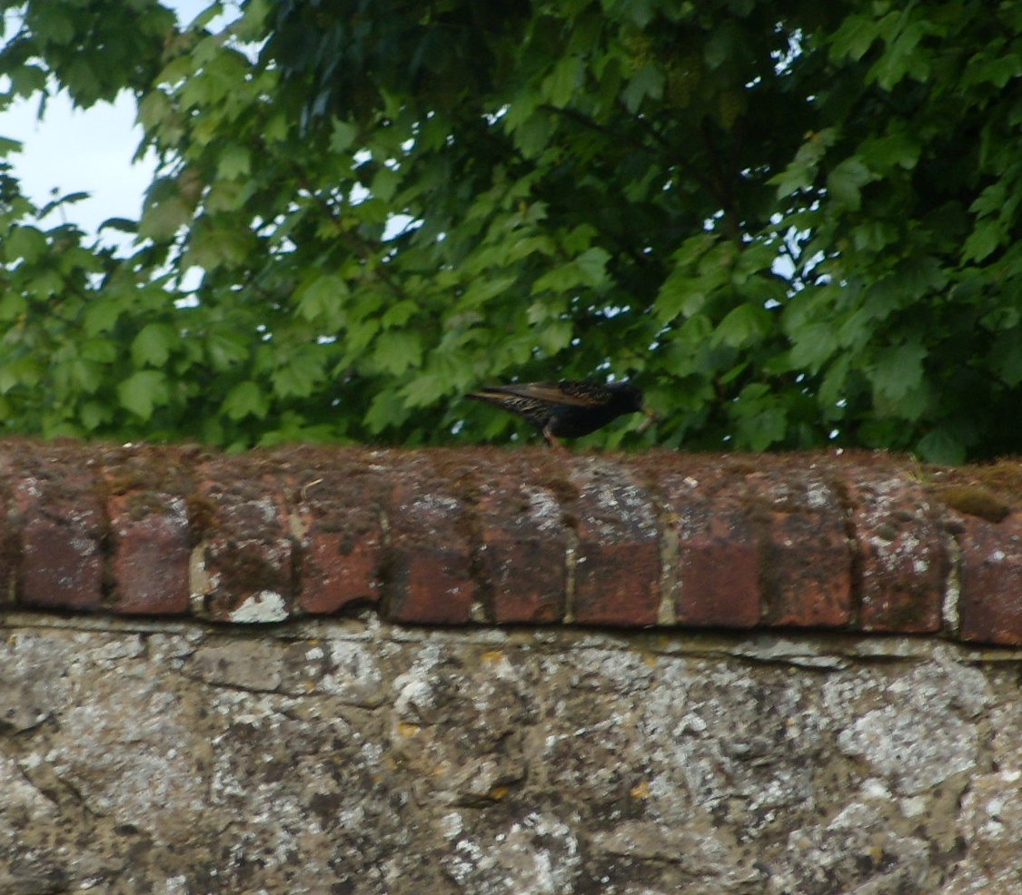 Bird on a wall A succession of starlings stood on this wall with grubs in their beaks. Courtship thing perhaps? Pub #3 The George Pluckley Circular with extension