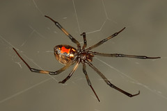 arthropod, animal, spider, araneus, invertebrate, macro photography, fauna, close-up,