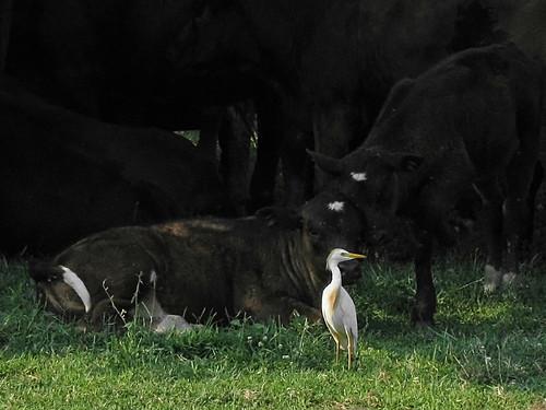 bird cow nj cattleegret woodstown salemcounty