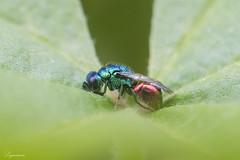 Chrysididae sp.