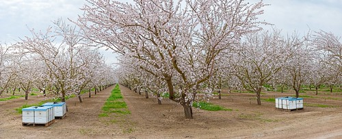 panorama northerncalifornia landscape spring blossoms perfectpanoramas sdosremedios size1x2 almondbloom gigapan ©stevendosremedios