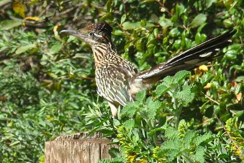 Greater Roadrunner Beep! Beep!!