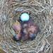 BluebirdNB3 20090412L 005wf by lucycat