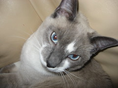 nose, animal, siamese, small to medium-sized cats, pet, burmilla, javanese, thai, cat, korat, burmese, carnivoran, whiskers, russian blue,