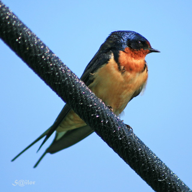 X Bird On The Wire Quot Barn Swallow Quot Flickr Photo Sharing