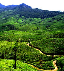 agriculture, rainforest, field, mountain, valley, tree, hill, hill station, green, forest, natural environment, landscape, jungle, biome, vegetation, rural area, plantation, mountainous landforms,