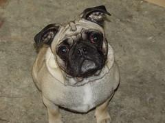 toy bulldog(0.0), dog breed(1.0), animal(1.0), dog(1.0), pet(1.0), carnivoran(1.0), pug(1.0),