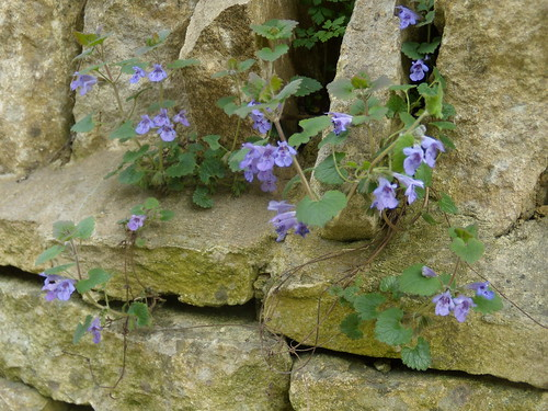 Ground ivy on wall, Charlbury