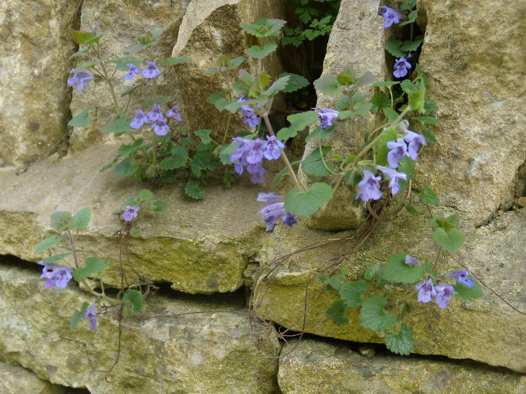 Ground ivy on wall, Charlbury Hanborough to Charlbury