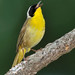 Daddy Common Yellowthroat Says Happy Father's Day! by JRIDLEY1