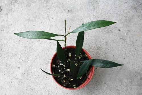 Hoya tsangii
