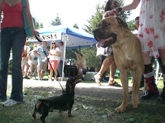 animal(1.0), dog(1.0), tosa(1.0), pet(1.0), mammal(1.0), guard dog(1.0), conformation show(1.0),