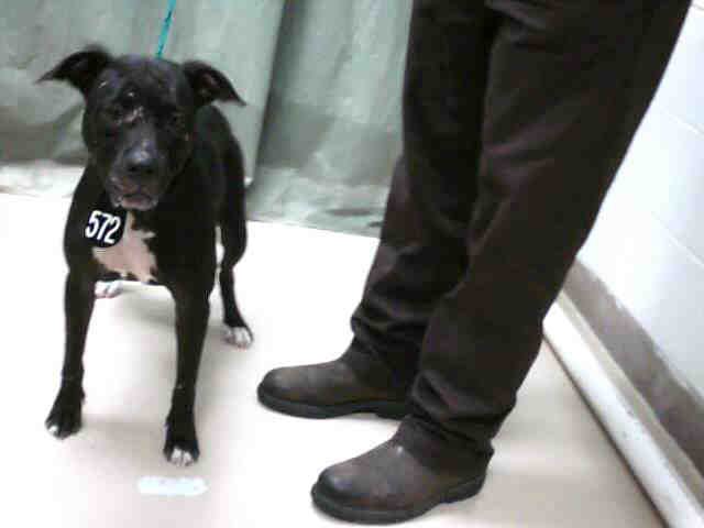 Solid Black with White Markings Female Pit Bull Terrier ...
