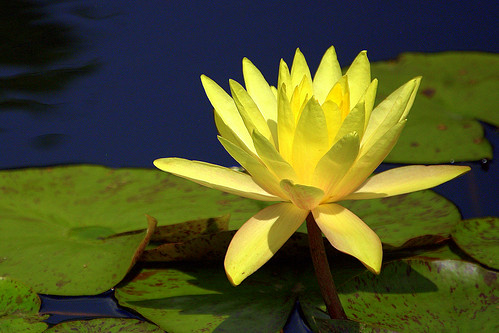 yellow flora denverbotanicgardens yellowwaterlily explore1 ladyloneranger nikond40 20aug09