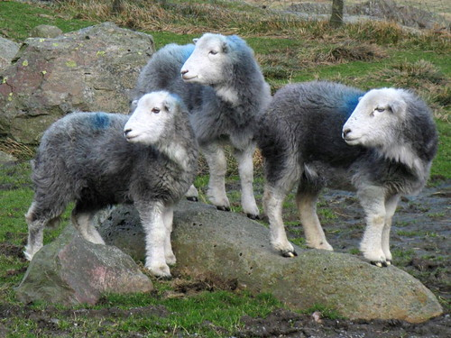 Ewe's right! - Herdwick sheep trio - Borrowdale w/e
