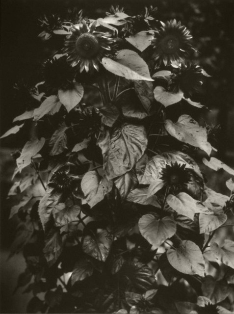 Tournesol photographié par Emile Zola.