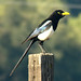 Yellow-billed Magpie - Photo (c) Maggie.Smith, some rights reserved (CC BY-NC)