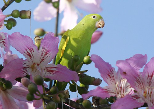 periquito-de-encontro-amarelo na Paineira-rosa / Barriguda / Yellow-chevroned Parakeet in Cotton-silk tree (Ceiba speciosa