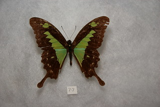 Green-patch Swallowtail