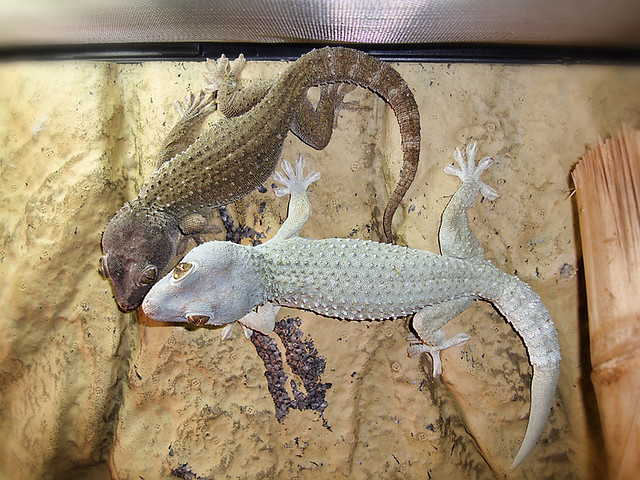 Tokay Geckos | Flickr - Photo Sharing!
