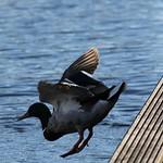 duck3-flickr