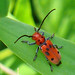 Eastern Milkweed Longhorn beetle - Photo (c) Larry Meade, some rights reserved (CC BY-NC-SA)