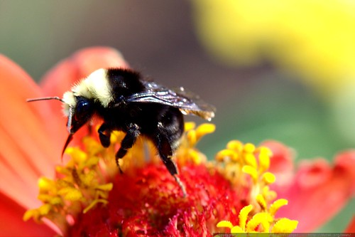 bee on a zinnia flower   macro    MG 0438