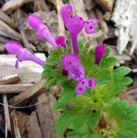 Henbit Henbit Lamium Amplexicaule Lamiaceae In Our
