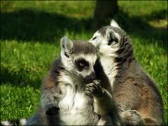 animal, raccoon, marsupial, mammal, fauna, lemur, wildlife,