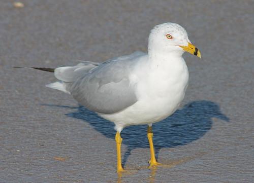 seagull gull ringbilledgull larusdelawarensis