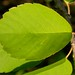 Small photo of Amelanchier alnifolia leaf