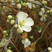 Flowering Qunice