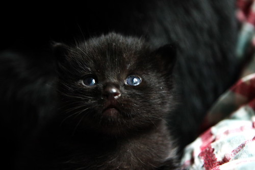 black baby cat | Flickr - Photo Sharing!