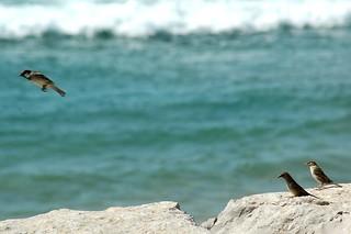 Εικόνα από Santo António. ocean sea bird praia beach rock mar frozen passarinho pássaro atlantic gustavo birdy oceano rocha gustty congelados atlântico pardais veríssimo pardaisnapraia pássaroconirrostro smallgreybrownbirdwhichisespeciallycommonintowns conirrostro gustavoveríssimo wwwflickrcomphotosgustty