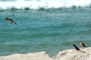 Изображение на Santo António. ocean sea bird praia beach rock mar frozen passarinho pássaro atlantic gustavo birdy oceano rocha gustty congelados atlântico pardais veríssimo pardaisnapraia pássaroconirrostro smallgreybrownbirdwhichisespeciallycommonintowns conirrostro gustavoveríssimo wwwflickrcomphotosgustty