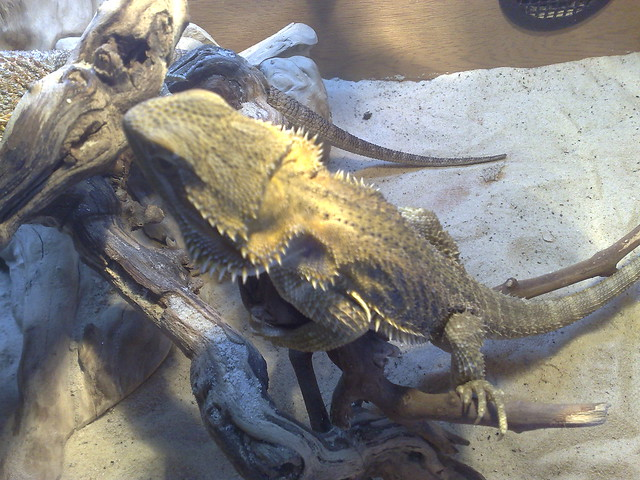 Bearded Dragon, Fire and Ice   Flickr - Photo Sharing!
