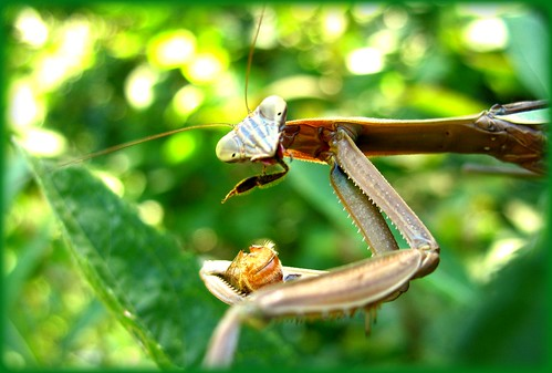 nature interesting bokeh eating insects bee eat gross prayingmantis foodchain delitefulimage