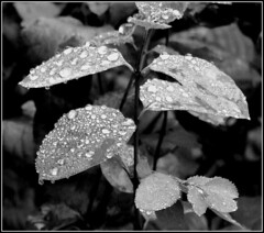Leaves after a rain shower