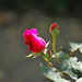 Small photo of Rosebud