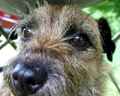 dog breed, animal, dog, schnoodle, pet, border terrier, lakeland terrier, irish soft-coated wheaten terrier, close-up, carnivoran, terrier,